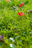 Lawn grass with dew drops and leaves in the Stock Photography