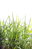 Lawn. Grass in the foreground isolated on white background Stock Image
