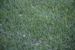 Lawn of Grass. Fresh cut, mowed and landscaped grass Royalty Free Stock Photography