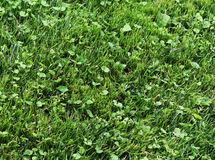 Lawn grass. Fresh lawn grass top view royalty free stock image