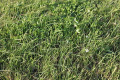 Lawn grass. Fresh lawn grass top view stock images