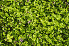 Lawn grass, green texture. Cut grass on the lawn Stock Photo