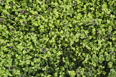 Lawn grass, green texture. The texture of the turf Royalty Free Stock Photography
