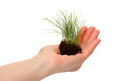 Lawn grass in a human hand Royalty Free Stock Photography