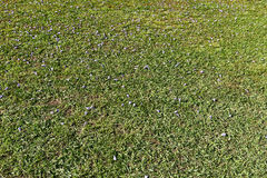 The lawn grass strewed with petals Stock Photo