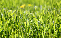 Lawn grasses Stock Photos