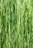 Lawn grasses Stock Image