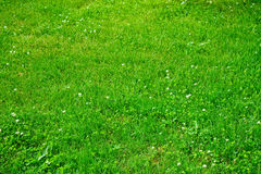 Lawn with green clover blossom Stock Photography