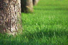 Lawn with green grass and big trees Stock Photos