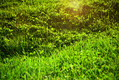 Lawn green grass. Stock Image