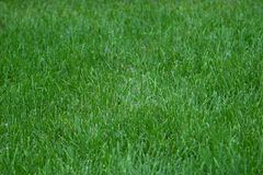 Lawn with green grass closeup Stock Photography
