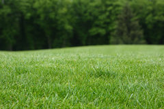 Lawn with green grass. Royalty Free Stock Image