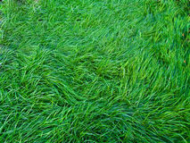 Lawn with green grass Stock Images