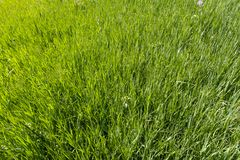 Lawn with green grass, Sunny, vegetation. Plants, glade royalty free stock images