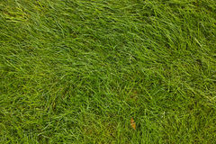 Lawn. Green grass. Royalty Free Stock Image