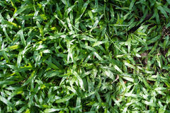 Lawn green natural background Stock Photography