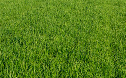 Lawn green wheat grass background. Lawn green wheat grass for background stock image