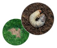 Lawn Grub Damage. As chinch larva damaging grass roots causing a brown patch disease in the turf as a composite image isolated on a white background stock image