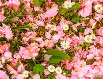 A lawn with leaves, daisies, pink petals and grass royalty free stock image