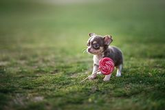 Lawn lollipop. Cute puppy chihuahua sits on the green grass eats lollipop stock photo