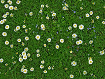 Lawn with many white daisies. Many white daisies in top view of lawn, several Bird's-eye Speedwell also visible (Bellis perennis and Veronica chamaedrys). In Stock Photo