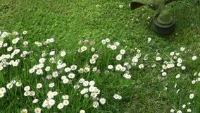 Lawn mover trimmer cut garden grass with flowers, slow motion. Lawn mover trimmer cut garden grass with english daisy flowers, slow motion stock video