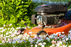 Lawn mower in blossoms Royalty Free Stock Photography
