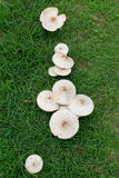 Lawn Mushrooms Stock Photo