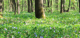 Lawn periwinkle Royalty Free Stock Photography