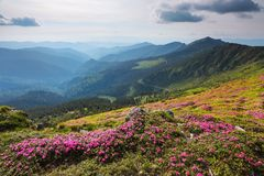 The lawn with pink rhododendron in the high mountains landscapes. The sky with clouds in beautiful light. Sunny spring day. royalty free stock photography