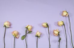 Lawn of pink roses on purple Stock Photography