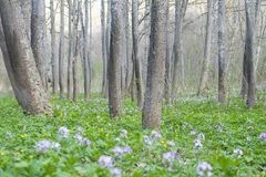 Lawn with primroses among the trees. Spring in the forest Stock Photography