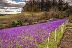 Lawn of Purple Crocuses Royalty Free Stock Images