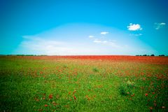 Lawn of red poppies against blue sky Royalty Free Stock Images