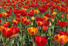 Lawn with red and yellow tulips Stock Photos
