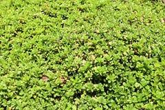 Lawn with Sedum Spurium Stock Image