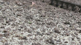 Lawn Seeding Manual Rake stock video footage