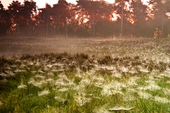 Lawn of spiders Stock Image