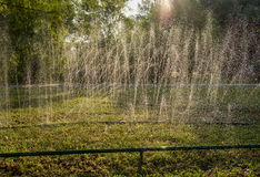 Lawn sprinkler spraying water over green grass. Irrigation system Royalty Free Stock Photo