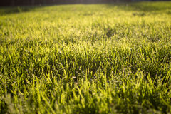 Lawn Texture Stock Images