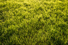 Lawn Texture Royalty Free Stock Photo