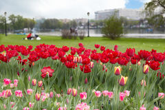 Lawn with tulips Stock Images