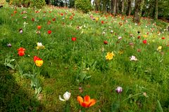Lawn with tulips Stock Image