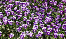 Lawn of violets Royalty Free Stock Photo