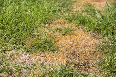 Lawn weed pests grass Royalty Free Stock Images