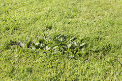 Lawn weed pests grass Royalty Free Stock Photos