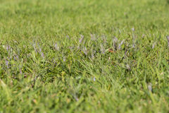 Lawn weed pests grass Stock Photos