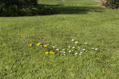 Lawn weed pests grass Stock Image