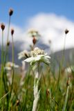 Lawn which are growing Edelweiss Royalty Free Stock Photo