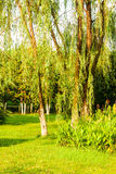 The lawn and willow Royalty Free Stock Photo